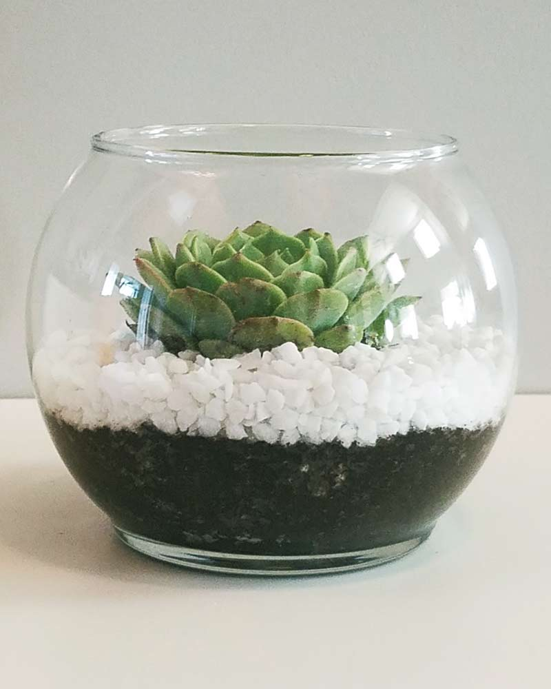 cute echeveria succulent growing in a glass terrarium with white rocks