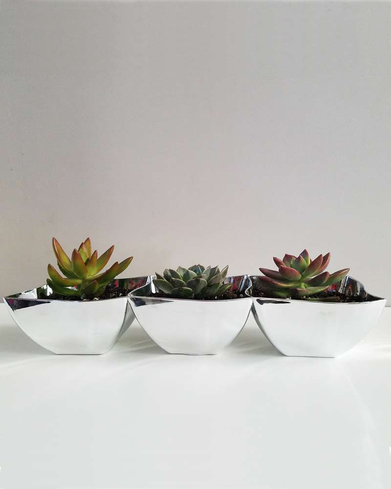 three cute echeveria succulents in a three section tray